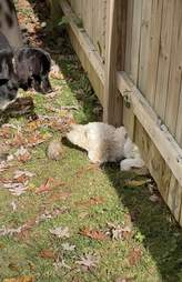 dogs play through fence