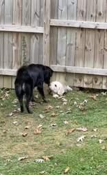 dogs meet through fence