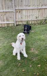 dogs play in backyard