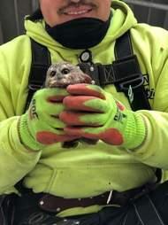 Tiny owl saved from Rockefeller Christmas tree