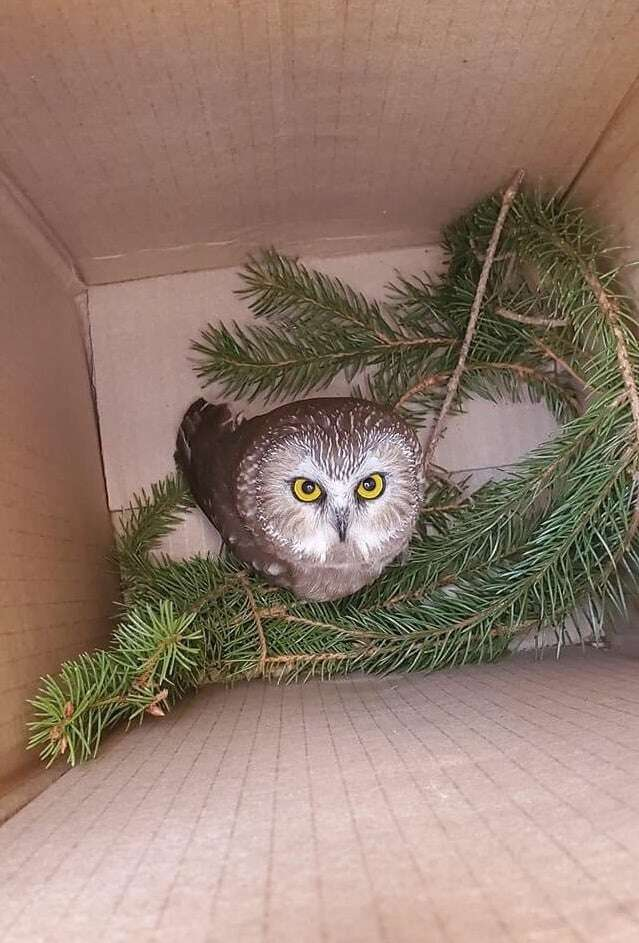 Saw-whet Owl rescued from Christmas tree