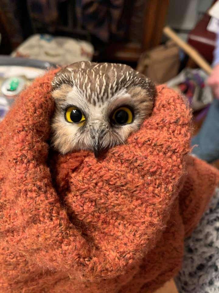 Tiny owl found in Christmas tree