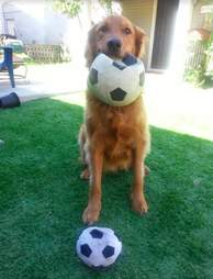 Buster the golden retriever with a soccer ball
