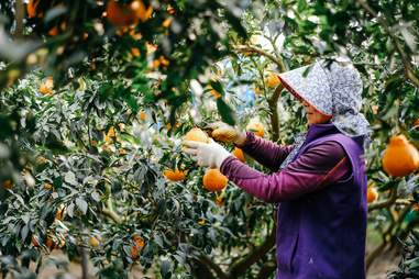 woman picking tangerines