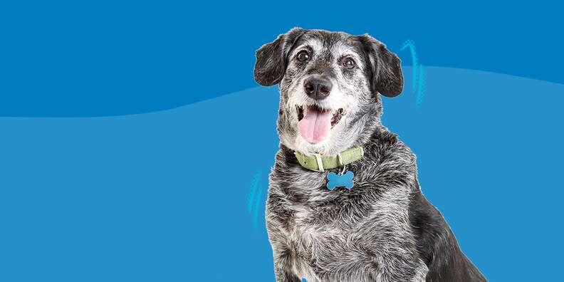 senior dog on blue background