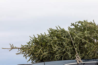 Bringing home the Christmas tree tied to the roof of the car