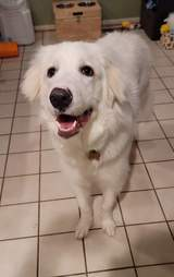 Great Pyrenees puppy saves family from fire