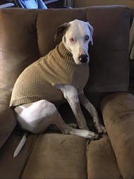 dogs in matching sweaters