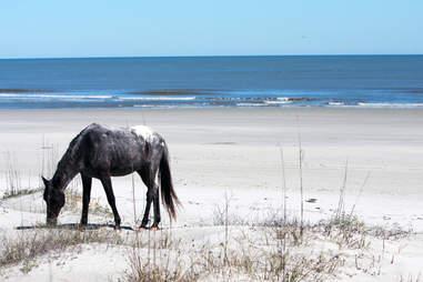 Wild Horse Grazing on the Beach in Cumberland Island, GA