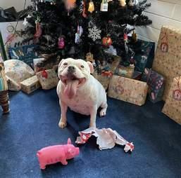 dog steals toy