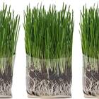 Compostable Cat Grass Growing Kit