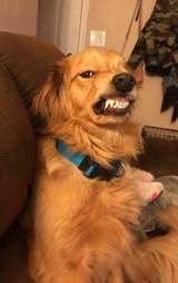 Golden retriever with scary smile