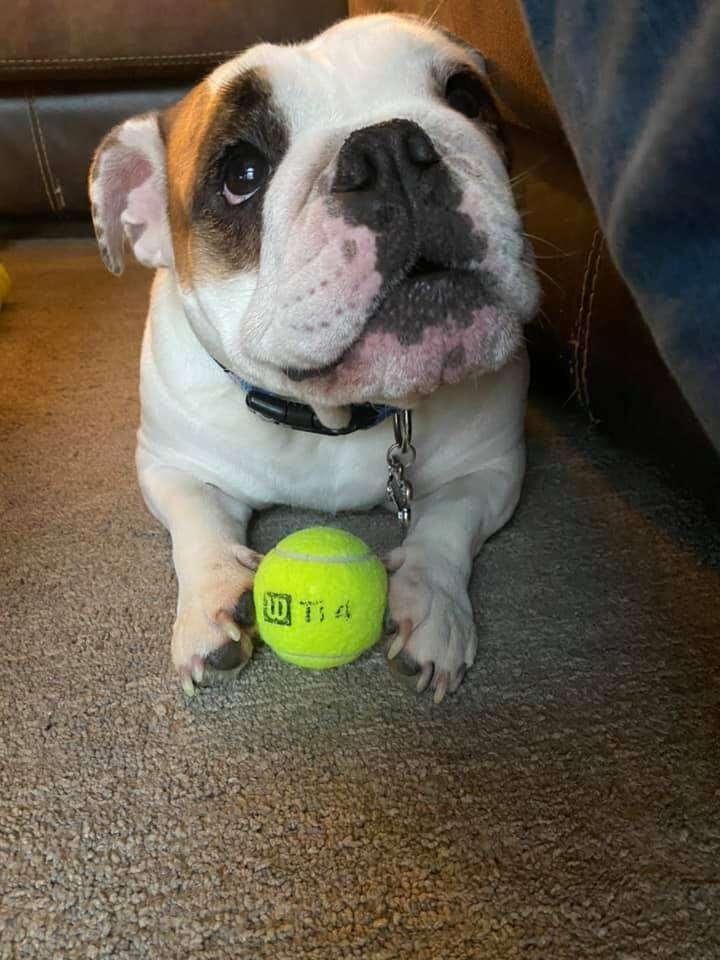 dog holding a tennis ball