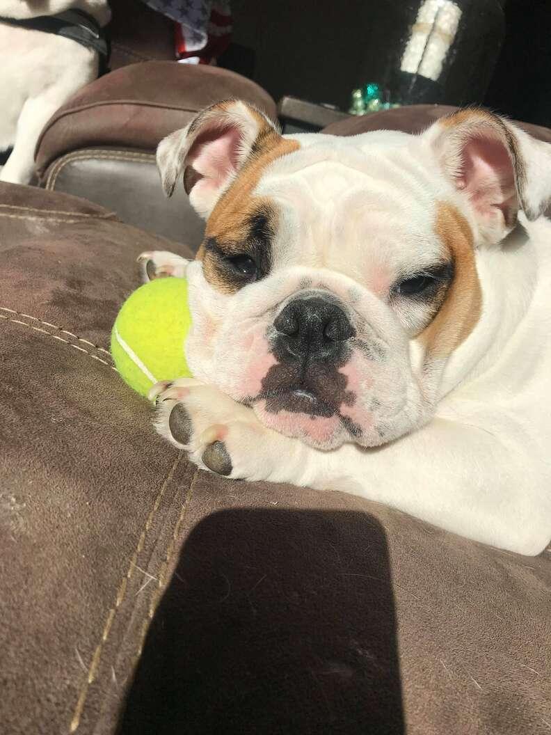 dog holds tennis ball
