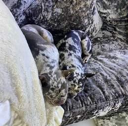 Dogs hide in velvet couch