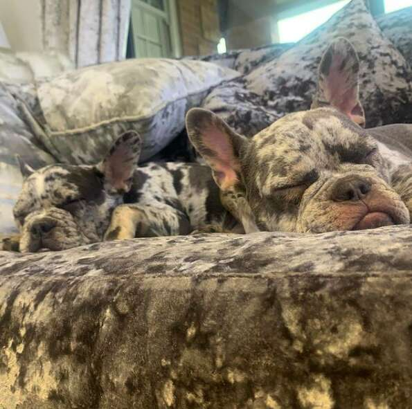 Dogs blend in with velvet couch