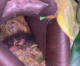 Baby birds live in a boot