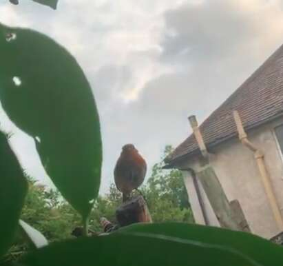 Robins build a nest in man's boots