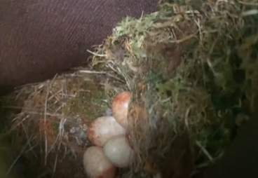 Robin's eggs in a Timbaland boot
