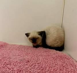 betty kitten hissing