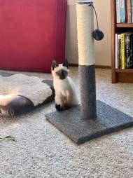 betty siamese kitten