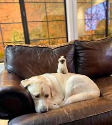 truvy yellow lab and betty siamese kitten