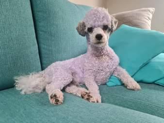 dog turns purple