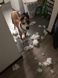 dog destroys things