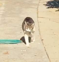 China the cat steals from her neighbors