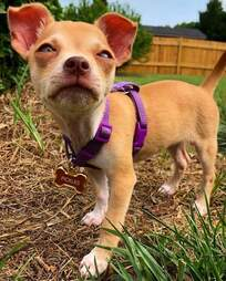 Pickles the Chihuahua as a puppy