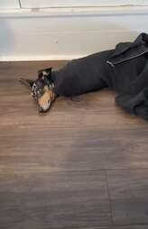 dog stuck in mom's sweater