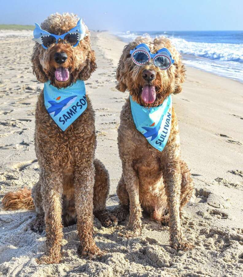 dogs wearing goggles on beach