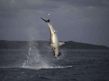 shark week air jaws