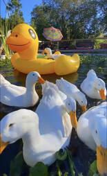rescue ducks