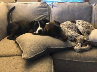 Dog brothers snuggle on the couch