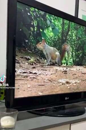 Dog watches squirrels on TV