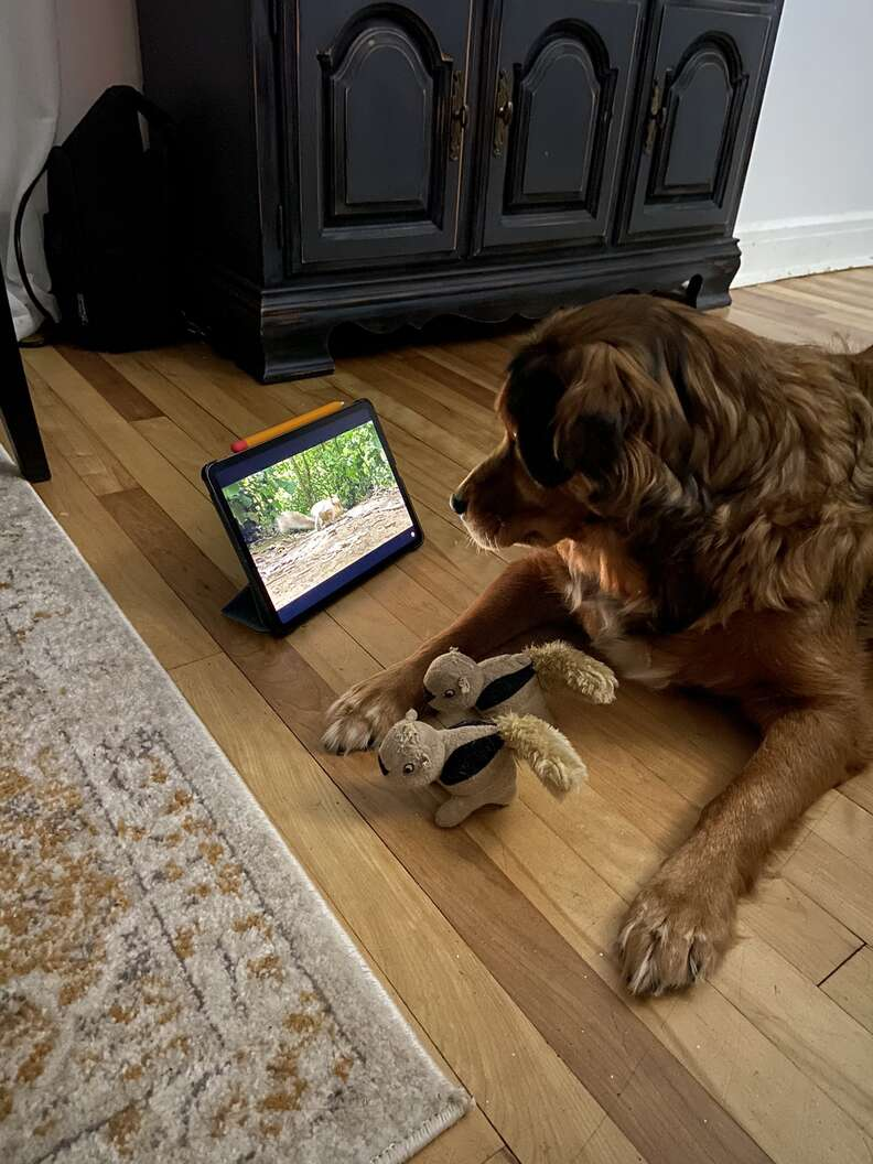 Dog watches squirrels on iPad