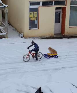 Little boy pulls sled with dog on bike