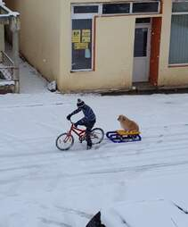 Little boy pulls sled with dog on bike