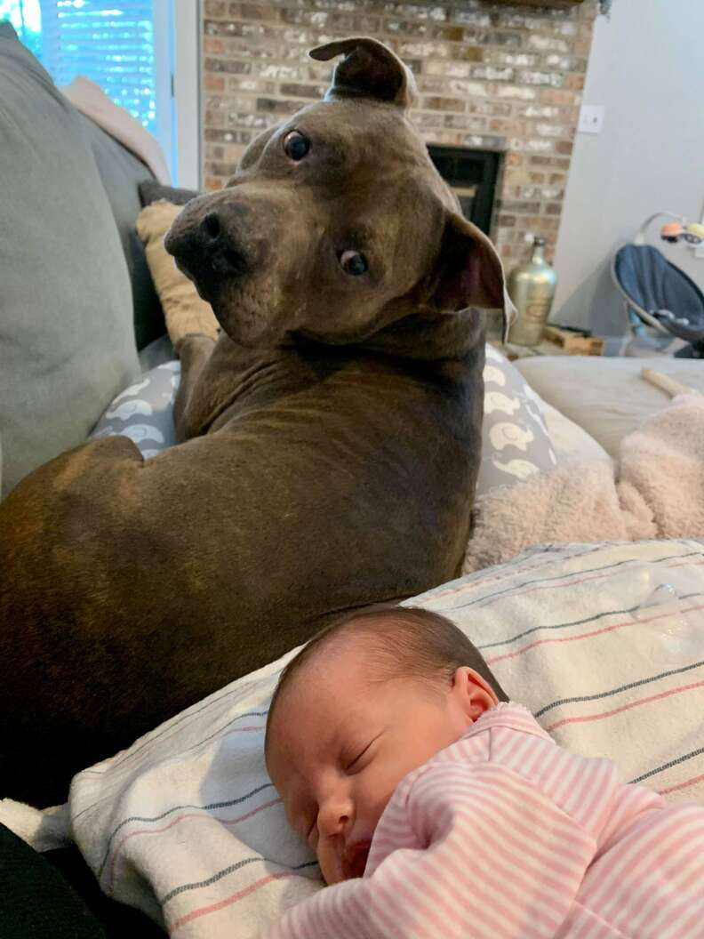 Remus the pit bull meets his baby sister