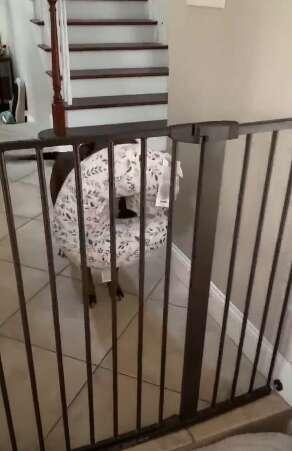 Dog brings mom her breastfeeding pillow