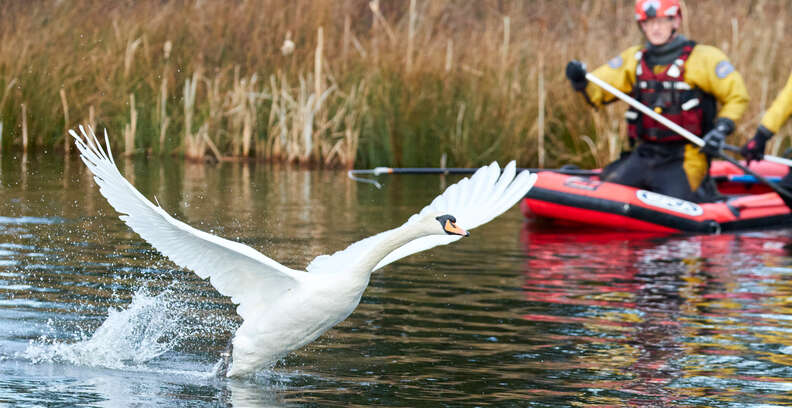 swan wings outstretched