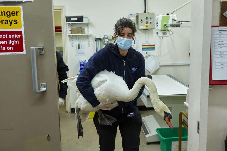 injured swan