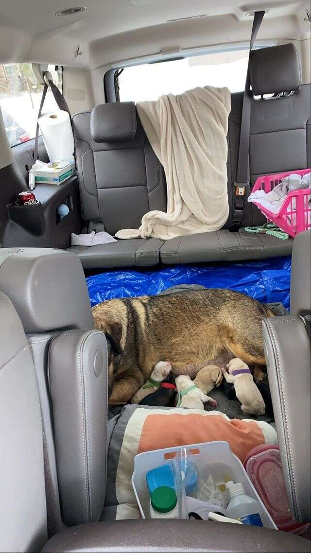 dog has puppies in car