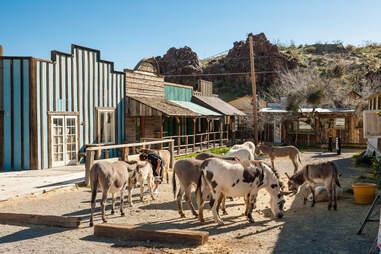 oatman donkeys