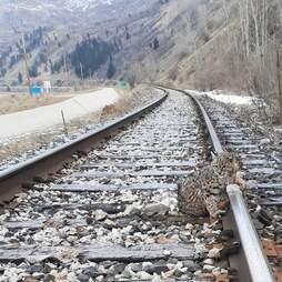 Train inspector saves bobcat's life