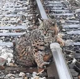 Train crew frees bobcat frozen to tracks