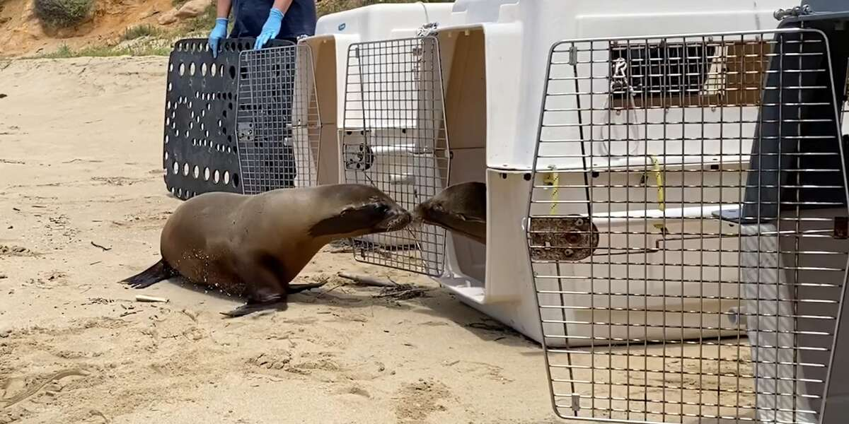 Baby Sea Lion Scared To Go Back To The Ocean Gets A Little ...