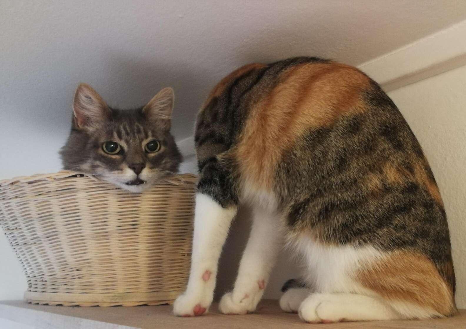 Optical Illusion Cat