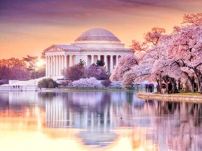 cherry blossom peak
